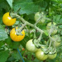 Golden_Currant