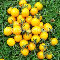 Orange_Wildtomate